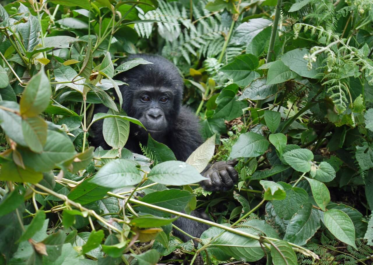 Bwindi Impenetrable Forest Nationalpark